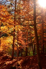 Forest (Christina 25) Tags: makedonia macedonia macedoniatimeless trees light fall autumn colours sun sunlight olympos branches leaves outdoors landscape bole trunk