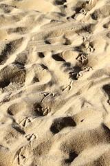 No vuelan ? (vavie2012) Tags: playa gaviota arena huellas volar caminar patas pasear ave mar plage seagull mouette sable mer château castle castillo empreintes voler marcher pattes oiseau promenade beach sand sea footprint fly walk