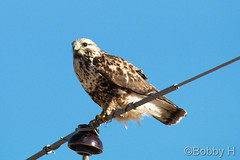 January 2, 2017 - A Rough Legged Hawk in Adams County. (Bobby H)