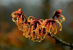 Toverhazelaar - Witch-hazel - Hamamelis (Foto by Yves) Tags: garden wild bare winter flowering fantasticnature