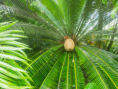 Giant dioon (melastmohican) Tags: central foliage exotic nature leaf botany decorative female cycad cone tree dioon design stem mexican pattern flower floral horticulture plant park garden leaves cycadaceae palm america zamiaceae gum flora spinulosum botanical ornamental green fern giant tropical detail