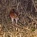 East African Springhare (Pedetes surdaster)