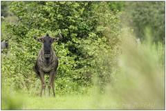_DSC5605PJ_resultat (http://phj.bookfoto.com/) Tags: botswana philippe jubeau afrique delta okavango gnou