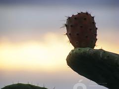 DSCF0876.jpg (José Luis Marrero Medina) Tags: laspalmasdegrancanaria naturaleza planta spain miradordemonteluz amanecer sunrise laspalmas tunera vegetación flor grancanaria canaryislands españa islascanarias