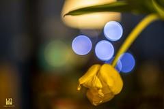 PSIKEDELICO (Lace1952) Tags: fiore tulipano giallo bolle fuoco bokehsfocato nikond7100 pancolar