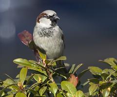 house sparrow bird male brown stripes head birds