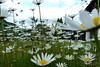 P1100362_2 (meanderyng) Tags: margeriten macro daisy marguerite