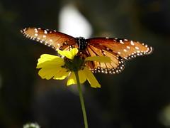 Arizona butterfly--Explored (yooperann) Tags: queen butterfly danaus gilippus phoenix desert botanical garden yellow flower backlit