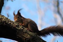 IMG_2129 (marianabmcruz) Tags: parquebiológicodegaia parquebiológico biologicalpark outdoors outdoor nature natureza animal animals fauna esquilo squirrel squirrels