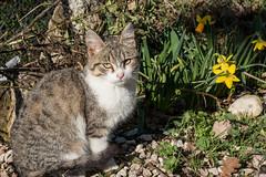 Cat in the garden (ambrasimonetti) Tags: spring flower flowers daffodil cat printemps primavera gatti giunchiglie narcisi crocus zafferano macro