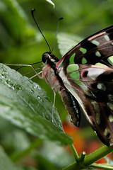 Papillons en Liberté 2017 - Photo 9 (Le Chibouki frustré) Tags: nikon nikond100 d100 montréal montreal homa hochelagamaisonneuve macro macrophotographie botanicalgarden jardinbotanique jardinbotaniquedemontréal montrealbotanicalgarden butterfly insect insects bokeh dof pdc papillonsenliberté2017 butterfliesgofree2017
