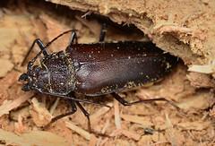 Ergates faber (stanislav snall) Tags: macro insects makro macrophotography coleoptera cerambycidae longhornbeetles prioninae