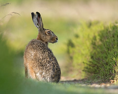 Good morning Brown Hare (Wouter's Wildlife Photography) Tags: nature animal mammal hare wildlife dew billund brownhare lepuseuropaeus pattedyr