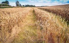 Fields of gold (moraypix) Tags: harvest harvesttime fieldsofgold evacassidy autumngold fieldsofbarley moraypix moraypixphotography nikond750 nikon2485lens