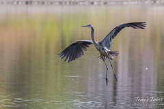 Great Blue Heron landing sequence - 1 of 7