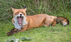 Just waking up ... (Alex Verweij) Tags: wild nature canon teeth fox 5d tanden vos tand redfox reinier markiii alexverweij