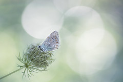 Encircled (Michel Couprie) Tags: france flower macro nature composition alpes canon butterfly insect eos dof bokeh papillon michel compositing hautesalpes couprie