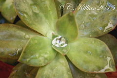 Desert Rose (Carryn Killian) Tags: plant colour water up rose by drops close desert photograph killian suculent a carryn macrophotographofflowersbycarrynkillian