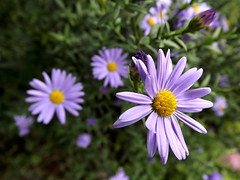Purple flowers (vegeta25) Tags: flowers flower macro green yellow fuji purple fujifilm myfuji mothernatureatherbest s3200 52weeksthe2015edition week392015 weekstartingthursdayseptember242015