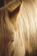 "Golden Light ""Draft Horse"" (Natural World Gallery) Tags: horses farmanimals equine drafthorse closeupofahorse"