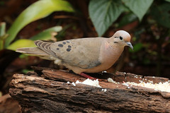 Zenaida auriculata - Eared Dove (Roger Wasley) Tags: bird southamerica argentina puerto iguazu neotropical neotropic eareddove zenaidaauriculata