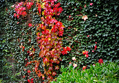 Autumn colors (Caulker) Tags: wall ivy canonspark 29102015