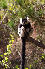 LEMUR-PARK-54 (RAFFI YOUREDJIAN PHOTOGRAPHY) Tags: park city travel trees plants baby white cute green animal fauna canon river jumping sweet turtle wildlife bricks mother adorable adventure explore lemur 5d lemurs bushes madagascar 70200 antananarivo mkiii