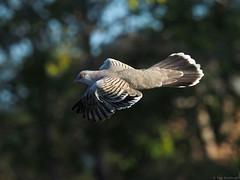 Crested Pigeon in Flight 3 (Vas Smilevski) Tags: bird birds pigeon wildlife birding feathers australia nsw birdsinflight bif penrith australianbirds westernsydney crestedpigeon columbidae ocyphapslophotes mc14 olympusomdem1 mzuiko40150mmf28pro