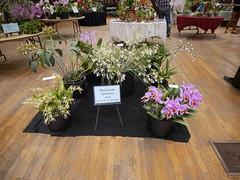 P1100043 (cieneguitan) Tags: flora lan bunga orkid okid angrek anggerek