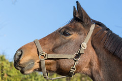 "Jaquido (""Schnuffel"") (HendrikSchulz) Tags: horses horse outside pferde pferd draussen koppel 2015 animalphotography tierfotografie schnuffel pferdefotografie horsephotography friesenstallweh hendrikschulz hendriktschulz friesengestütweh"