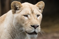 Witte Leeuw (White Lion) 0511 (bzd1) Tags: woman cats nature female lion natuur vrouw animalia mammalia rhenen carnivore whitelion ouwehands leeuw panthera carnivora felidae chordata ouwehand zoogdieren katachtigen roofdieren chordadieren panteheraleo