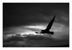 _DSC2992bn (carmine ingusci) Tags: bird zeiss fly sony uccelli volo 50 carmine zm a7r ingusci