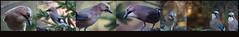 Eichelhher ganz nah (Weinstckle) Tags: vogel rabenvogel eichelhher