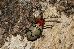 Polyclada flexuosa (zimbart) Tags: africa fauna insects beetles arthropoda mozambique coleoptera chrysomelidae gorongosanationalpark polyclada bungacamp