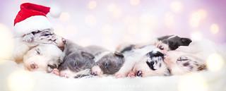 Christmas Puppies ♥