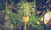 ARTÍSTICAS_0054 (danielpfloriano) Tags: verde abacaxi