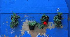 Color therapy (Ciceruacchio) Tags: color colour couleur flower fiore fleur geranium geranio blue bleu blu island isola burano venezia venice venecia venedig veneza венеция ヴェネツィア 威尼斯 βενετία veneto vénétie italia italy italie italien nikon