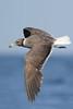 Hemprichs Meeuw - Ichthyaetus hemprichii - Sooty Gull (merijnloeve) Tags: hemprichs meeuw ichthyaetus hemprichii sooty gull bird birds oman mirbat arabic arabian ocean salalah gulls meeuwen ichthyaetushemprichii