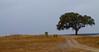 Sobreiro em Mourão (Joao_Matos) Tags: alentejo mourão alqueiva castelos altoalentejo