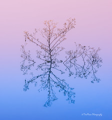 Stick Snowflake (TreeRose Photography) Tags: sticks dormant winter water reflections abstract morning arizona prescott