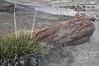 Petrified Wood / Petrified Forest National Park (Ron Wolf) Tags: asparagaceae chinleformation earthscience geology mesozoic narrowleavedyucca nationalpark paleontology petrifiedforestnationalpark triassic yuccaangustissimavarangustissima fossil log nature petrifiedwood tree arizona