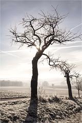 standby_modus (firlie-de) Tags: firlie kirschen kirschbaum