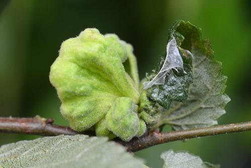Eriosoma lanuginosum on Ulmus sp.