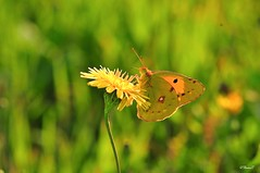 Schmetterling (TitusT1960) Tags: bokeh insekten grün green yellow gelb italy italien sizilien color farbe nikondigital nikond300 nikon nature natur schmetterling