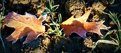2016-12-27 Beaurepaire (43)frosted leaves (april-mo) Tags: leaves leaf feuille frosted frost gel deadleaves autumnleaves