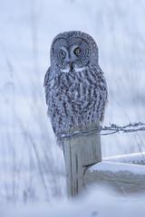 A Winter Morning (Peter Stahl Photography) Tags: ggo greatgreyowl owl snow winter