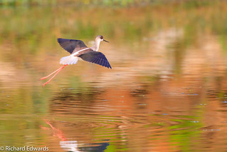 Black-winged Stilt- *Explore