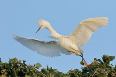 Running on thin air! (bmse) Tags: snowy egret orange county canon 7d2 400mm f56 l bmse salah baazizi wingsinmotion