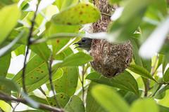 20170105-7D2_2031 (shutterblades) Tags: birds canon100400lmkii canon7d2 mandaizoo nesting nests riversafari scarletbackedflowerpecker singaporezoo