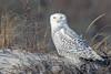 Snowy Owl (Mitch Vanbeekum Photography) Tags: snowyowl owl female perched islandbeachstatepark nj newjersey mitchvanbeekum mitchvanbeekumcom wildlife wild white beach canon14teleconvertermkiii canonef500mmf4lisiiusm canoneos1dx